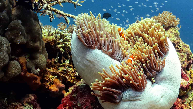 Sea Anemone with Clownfish. Fun dive the Gili Islands