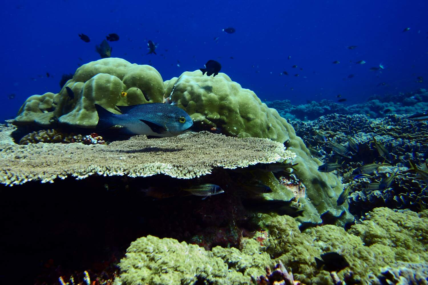 Huge table corals found their home in divesite sunset reef